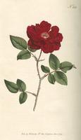 The Botanical magazine, or, Flower-garden displayed / by William Curtis