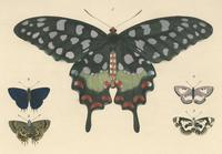 Illustrations of exotic entomology